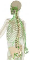 Človeška hrbtenica