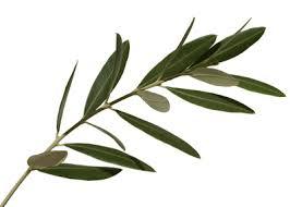 Listi oljke